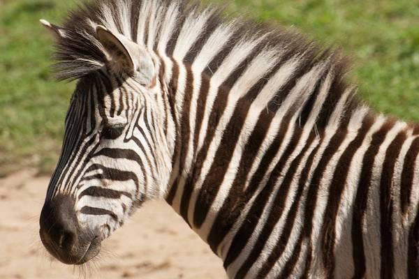 Photograph - Zebra by Keith Swango