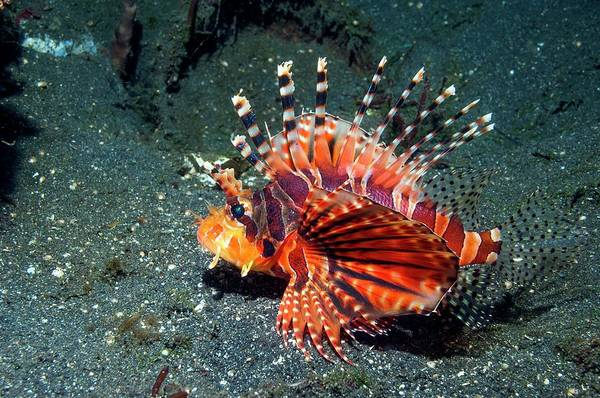 Ichthyology Wall Art - Photograph - Zebra Lionfish by Georgette Douwma