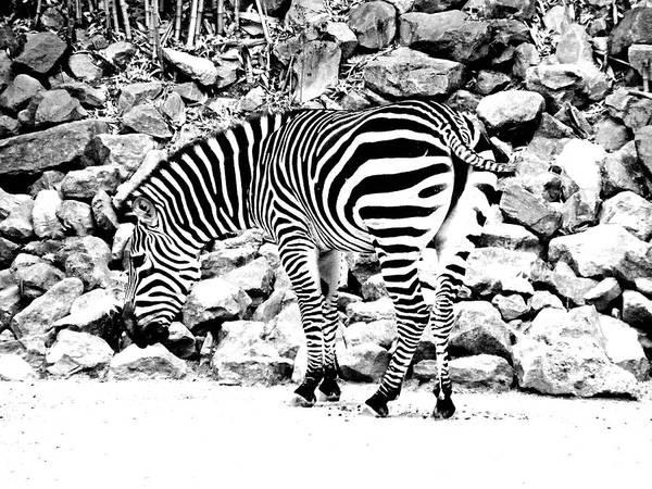 Photograph - Zebra by Lizi Beard-Ward