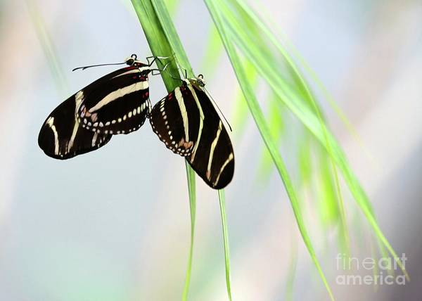 Photograph - Zebra Longwing Butterflies Mating by Sabrina L Ryan