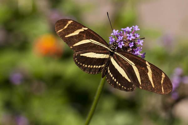 Wall Art - Photograph - Zebra Longwing Butterfly by Adam Romanowicz