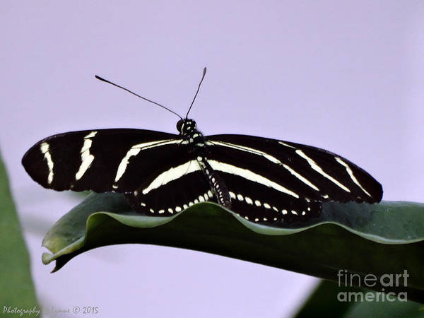 Photograph - Zebra Longwing Butterfly by Gena Weiser