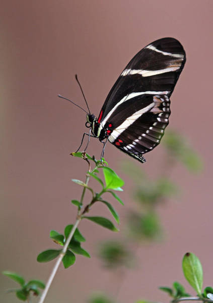 Photograph - Zebra Longwing Butterfly  by Juergen Roth