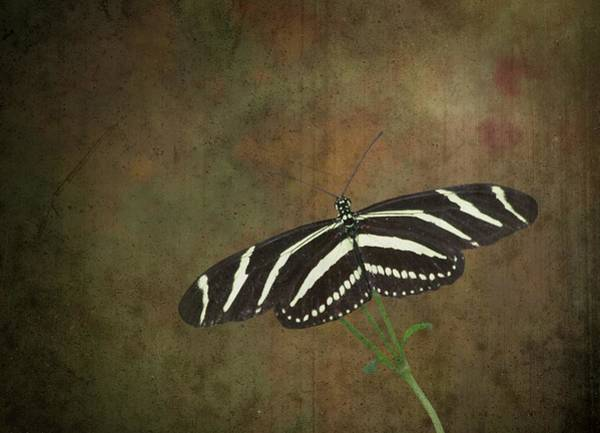 Dorsal Wall Art - Photograph - Zebra Longwing  Butterfly-1 by Rudy Umans