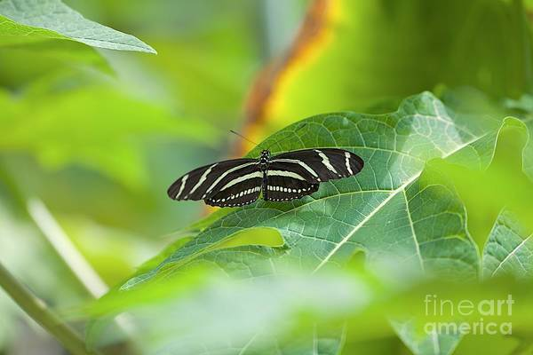 Photograph - Zebra Longwing by Joseph Yarbrough