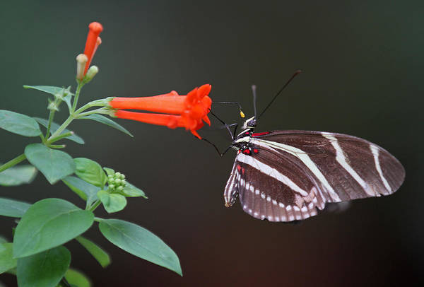 Photograph - Zebra Longwing by Juergen Roth