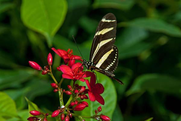 Photograph - Zebra Longwing by Tam Ryan