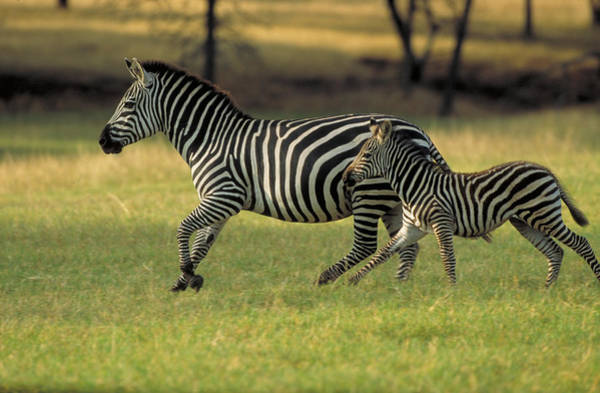 Mare And Foal Photograph - Zebra Mare And Colt Running, Kenya by Alan & Sandy Carey