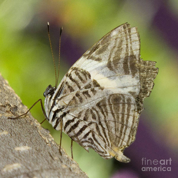 Photograph - Zebra Mosaic Butterfly by Chris Scroggins