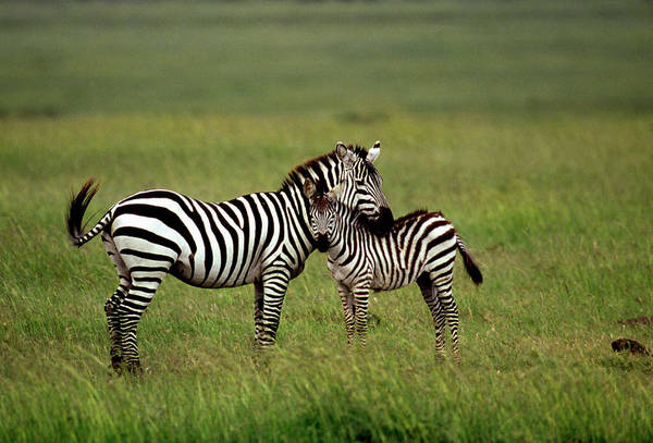 Foal Photograph - Zebra Mother And Foal by William Ervin/science Photo Library