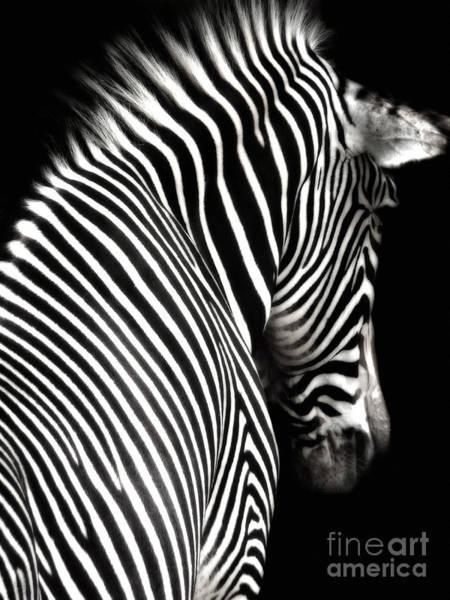 Photograph - Zebra On Black by Elle Arden Walby