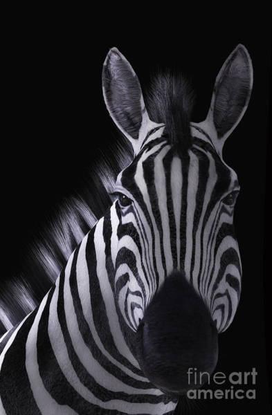 Digital Art - Zebra Portrait Black Background by Elle Arden Walby