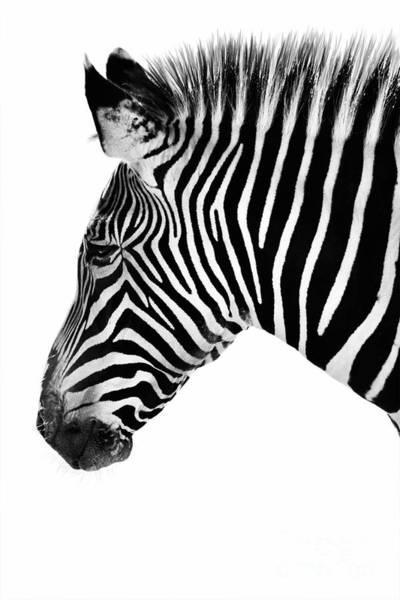 Zebra Profile Black And White Art Print