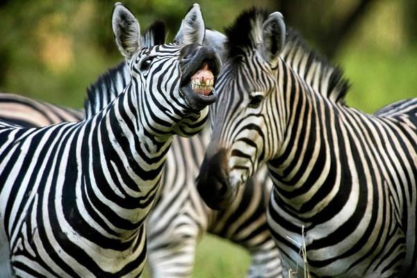 Behaviour Photograph - Zebra Showing Its Teeth, Equus Quagga by Kennet Havgaard