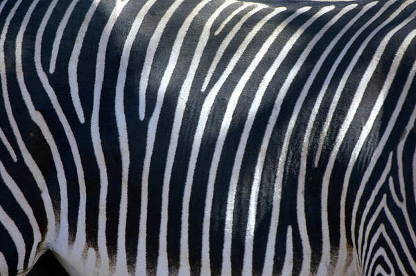 Wall Art - Photograph - Zebra Skin by Dr P. Marazzi/science Photo Library