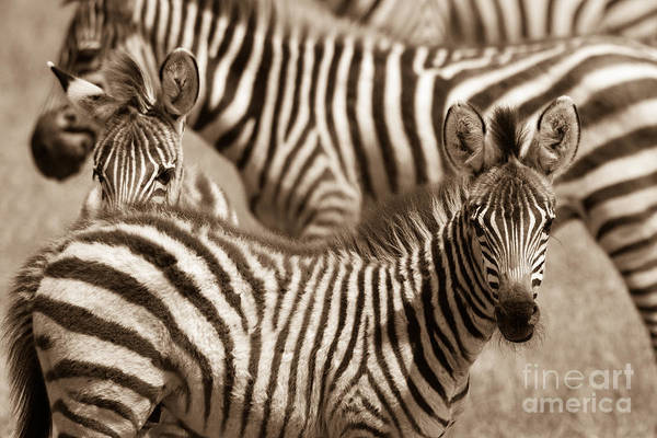 Zebra Stripes Galore Art Print