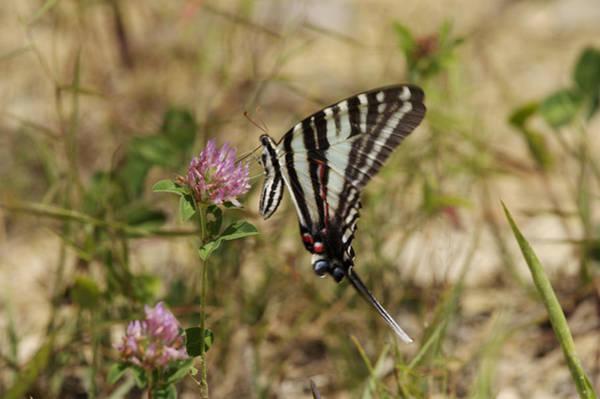 Brimstone Photograph - Zebra Swallowtail Butterfly by Byron Jorjorian