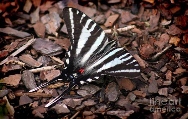 Zebra Swallowtail Butterfly Art Print