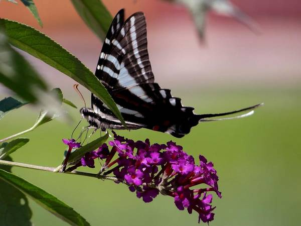 Photograph - Zebra Swallowtail Butterfly by Keith Stokes