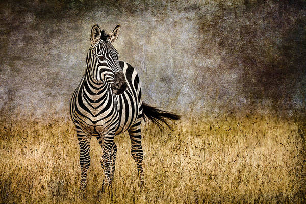Beige Photograph - Zebra Tail Flick by Mike Gaudaur