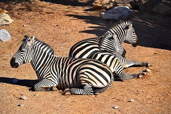 Photograph - Zebra1 by Gerald Greenwood