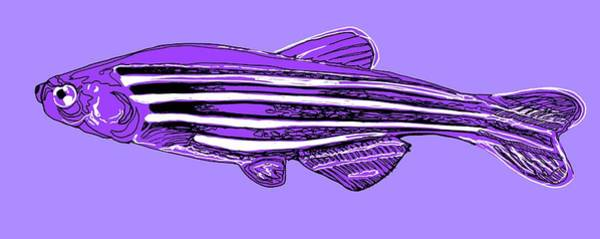Wall Art - Photograph - Zebrafish by Claudia Stocker/science Photo Library