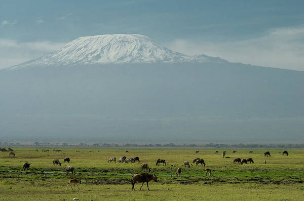 Mount Kenya Photograph - Zebras And Wildebeest In Front Of Mt by Animal Images