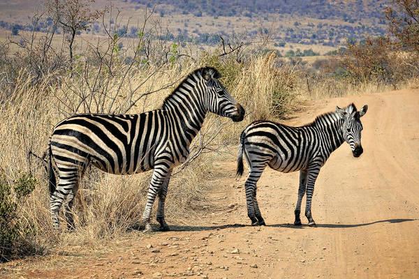 Photograph - Zebras Crossing by Kim Andelkovic