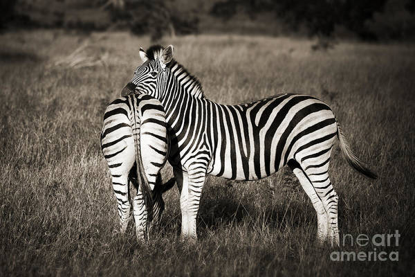 Wall Art - Photograph - Zebras by Delphimages Photo Creations