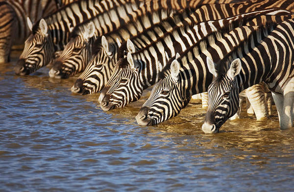 Herd Photograph - Zebras Drinking by Johan Swanepoel