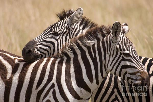 Photograph - Zebras Friendship by Chris Scroggins