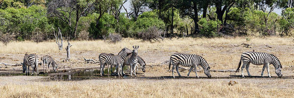 Okavango Delta Photograph - Zebras Grazing In A Forest, Chitabe by Panoramic Images