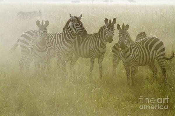 Photograph - Zebras In Dust by Chris Scroggins