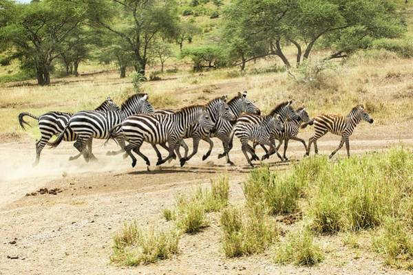 Conserved Photograph - Zebras In Mud by Photostock-israel
