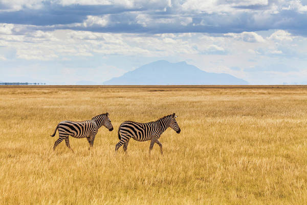 Mare Photograph - Zebras In The Savannah, Amboseli, Kenya by Anton Petrus