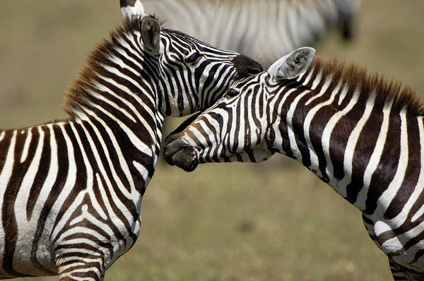 Wall Art - Photograph - Zebras Interacting by Dr P. Marazzi/science Photo Library