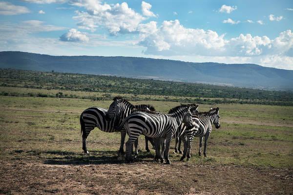 Savannah Photograph - Zebras On Savannah by Johner Images
