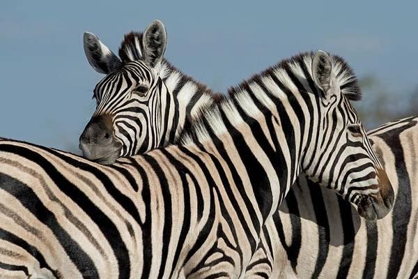 Wall Art - Photograph - Zebras Socializing by Tony Camacho/science Photo Library