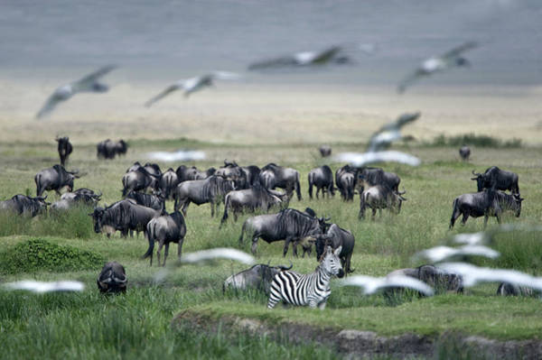 Wall Art - Photograph - Zebras With Wildebeests And Ibis by Animal Images