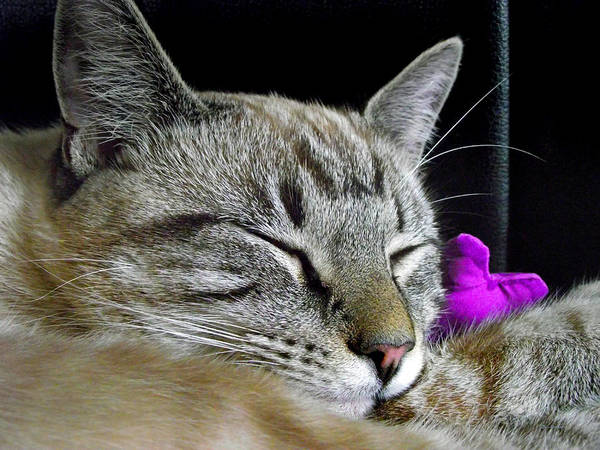 Photograph - Zing The Cat Sleeping by Duane McCullough