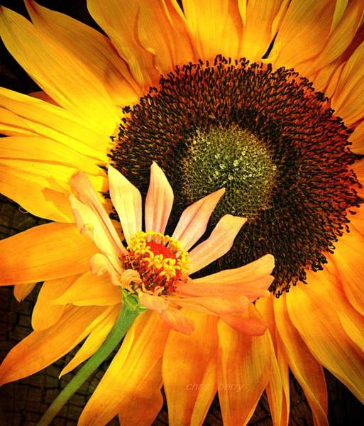 Wall Art - Photograph - Zinnia And Sunflower by Chris Berry