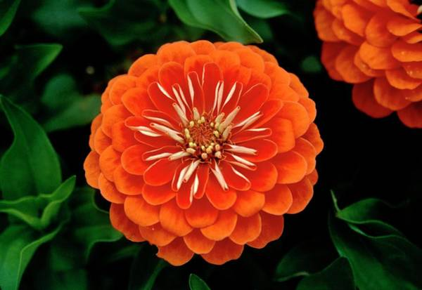 Zinnia Flower Wall Art - Photograph - Zinnia 'dreamland Coral' by Mrs W D Monks/science Photo Library
