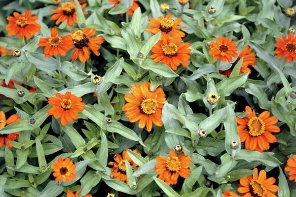 Zinnia Flower Wall Art - Photograph - Zinnia 'profusion Fire' by Mike Comb/science Photo Library