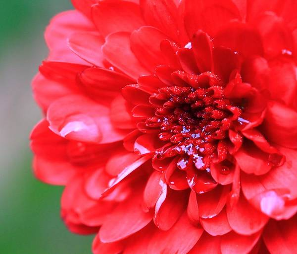 Photograph - Zinnia Raindrops by Dan Sproul