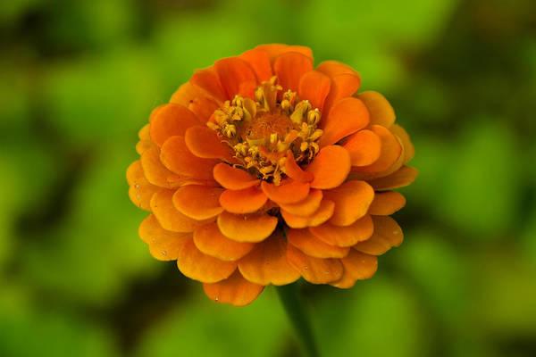 Photograph - Zinnia Tangerine by Robert Clifford