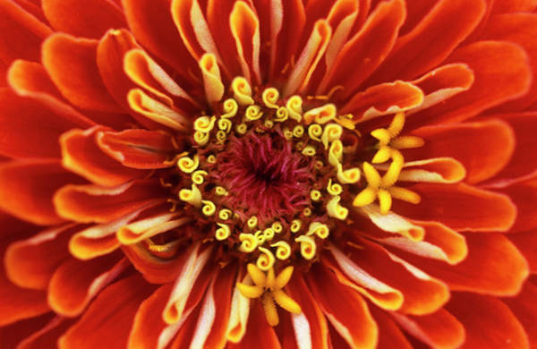 Zinnia (zinnia 'dreamland Coral') Art Print by Jane Sugarman/science Photo Library