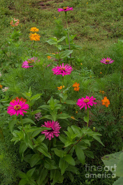 Photograph - Zinnias And Cosmos by Jim McCain