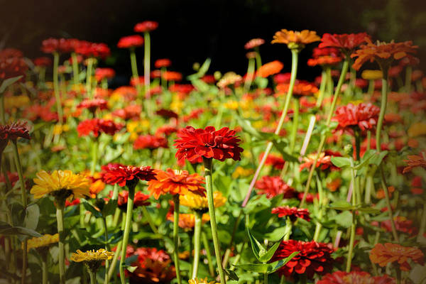 Photograph - Zinnias by Jeanne May