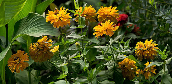 Photograph - Zinnias Of September Panorama by Theo OConnor