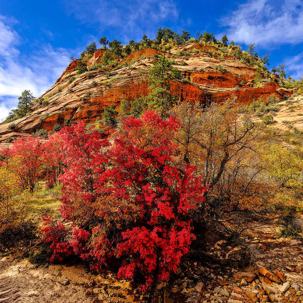 Photograph - Zion Mountain Maples by Greg Norrell